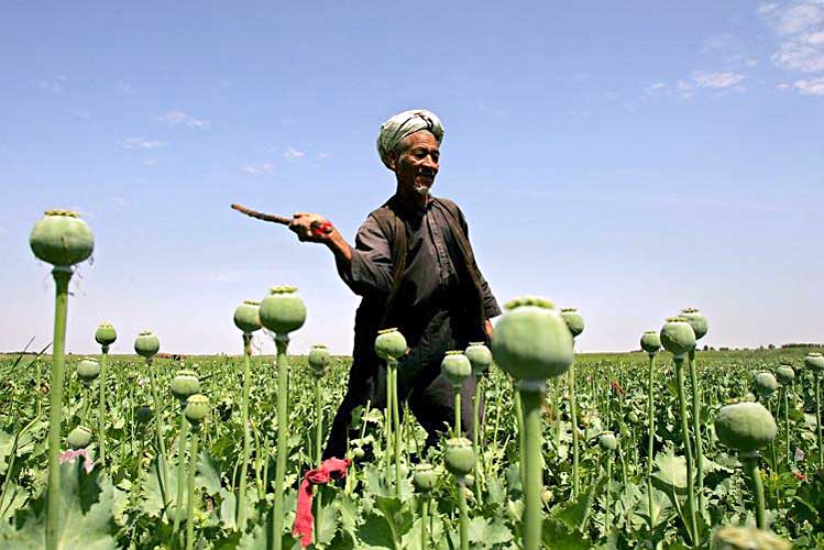 poppy farmer